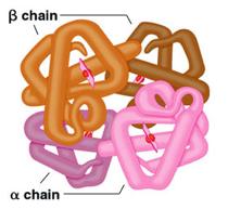 globin chain