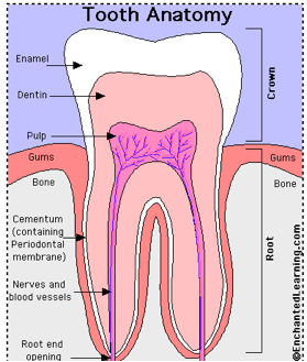 http://www.enchantedlearning.com/subjects/anatomy/teeth/toothanatomy.shtml